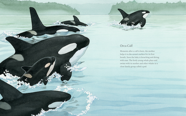 Spread from West Coast Wild Babies of Ocas swimming together